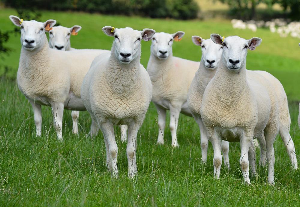 Lleyn Sheep Breed