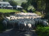 Driving Lleyn Ewe lambs back to farm