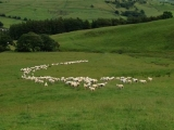 C Shape, Ewes and Lambs
