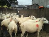 Lleyn cross Texel Shearlings