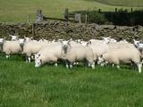 Texel cross ewe lambs