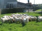 Lleyn cross Texel ewe lambs